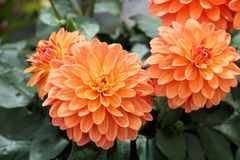Flower, Plant, Dahlia, Flowering Plant stock photos