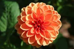Flower, Plant, Dahlia, Flowering Plant stock photography
