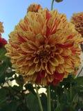 Flower, Plant, Dahlia, Flowering Plant