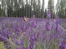 Flower, Plant, English Lavender, Lavender