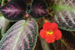 Free Flower Plant (Flame Violet Plant) Beautiful Orange Color Flower Stock Photos - 59211633