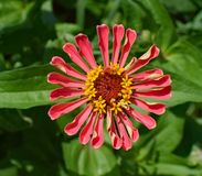 Flower, Plant, Flora, Annual Plant Royalty Free Stock Photos