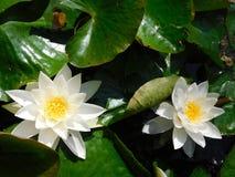 Flower, Plant, Flora, Aquatic Plant