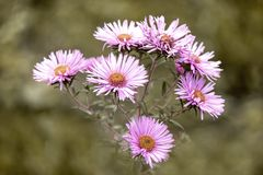 Flower, Plant, Flora, Aster Stock Photos