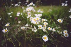 Flower, Plant, Flora, Chamaemelum Nobile royalty free stock image