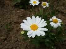 Flower, Plant, Flora, Chamaemelum Nobile stock photos