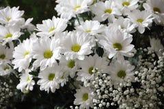Flower, Plant, Flora, Chamaemelum Nobile stock photo