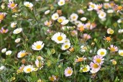 Flower, Plant, Flora, Daisy