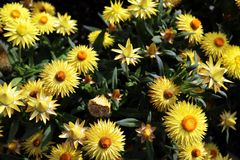 Flower, Plant, Flora, Daisy Family Royalty Free Stock Image