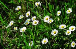 Flower, Plant, Flora, Daisy Family Royalty Free Stock Photography