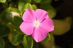 Flower, Plant, Flora, Pink