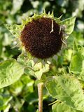 Flower, Plant, Flora, Sunflower Seed Stock Photos