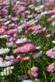 Flower, Plant, Flowering Plant, Aster Stock Photos