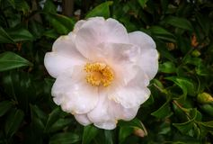 Flower, Plant, Flowering Plant, Camellia Sasanqua royalty free stock photography