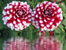 Flower, Plant, Flowering Plant, Dahlia stock photo