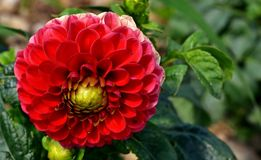 Flower, Plant, Flowering Plant, Dahlia royalty free stock image