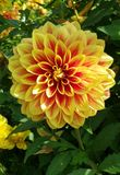 Flower, Plant, Flowering Plant, Dahlia royalty free stock photography