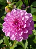 Flower, Plant, Flowering Plant, Dahlia Royalty Free Stock Images