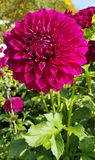 Flower, Plant, Flowering Plant, Dahlia stock image