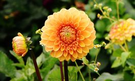 Flower, Plant, Flowering Plant, Dahlia stock photography
