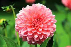 Flower, Plant, Flowering Plant, Dahlia stock photos