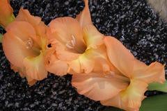Flower, Plant, Flowering Plant, Gladiolus Stock Images
