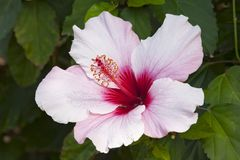 Flower, Plant, Flowering Plant, Hibiscus Stock Photography