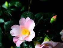 Flower, Plant, Flowering Plant, Japanese Camellia royalty free stock images