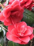 Flower, Plant, Flowering Plant, Japanese Camellia royalty free stock image