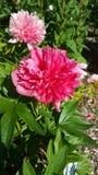 Flower, Plant, Flowering Plant, Peony stock image