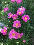 Flower, Plant, Flowering Plant, Peony royalty free stock images