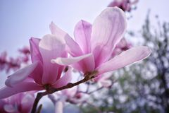 Flower, Plant, Flowering Plant, Pink royalty free stock photography