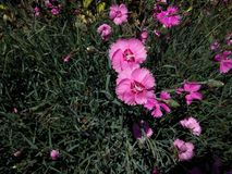 Flower, Plant, Flowering Plant, Pink royalty free stock photo