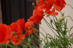 Flower, Plant, Flowering Plant, Poppy stock photo