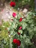 Flower, Plant, Flowering Plant, Poppy royalty free stock photo
