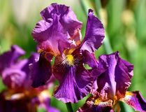 Flower, Plant, Flowering Plant, Purple royalty free stock images