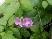 Flower, Plant, Flowering Plant, Subshrub royalty free stock photography