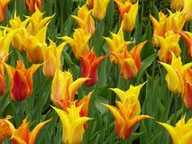 Flower, Plant, Flowering Plant, Tulip Stock Image