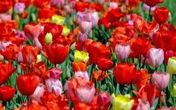 Flower, Plant, Flowering Plant, Tulip stock images