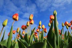Flower, Plant, Flowering Plant, Tulip royalty free stock photo