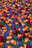 Flower, Plant, Flowering Plant, Tulip royalty free stock image
