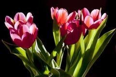 Flower, Plant, Flowering Plant, Tulip royalty free stock photos