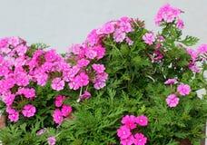 Flower, Plant, Flowering Plant, Verbena royalty free stock image