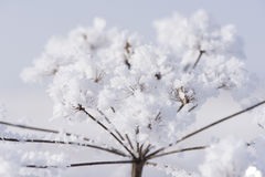 Flower plant with frost and ice Royalty Free Stock Photo