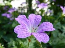 Flower, Plant, Geranium, Flowering Plant
