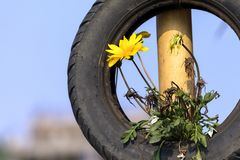 The Flower Plant Growing on the Tire stock images