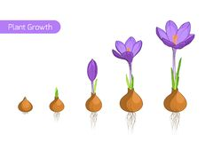 Crocus flower plant growth evolution concept. Flower plant growth concept vector design illustration. Crocus germination from corm bulb to sprouts to flower Royalty Free Stock Photo