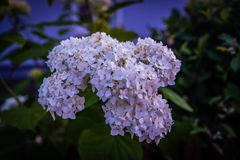 Flower, Plant, Hydrangea, Flora royalty free stock images