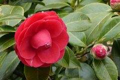 Flower, Plant, Japanese Camellia, Flowering Plant royalty free stock photo