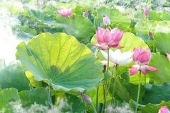 Flower, Plant, Lotus, Sacred Lotus Royalty Free Stock Image